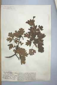 Crataegus monogyna herbarium specimen from Woodperry, VC23 Oxfordshire in 1905 by Mr George Claridge Druce.