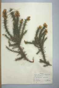 Ulex minor herbarium specimen from Bournemouth, VC11 South Hampshire in 1959 by B James.