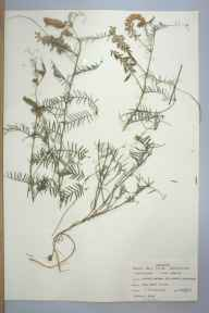 Vicia cracca herbarium specimen from Jersey Marine Sand Dunes, VC41 Glamorganshire in 1959 by T R Lovering.