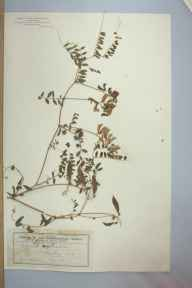 Vicia sylvatica herbarium specimen from Pitlochry, VC88 Mid Perthshire in 1896 by Mr Edward Morell Holmes.