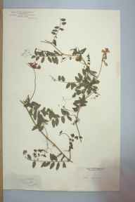 Vicia sylvatica herbarium specimen from Leigh Woods, VC6 North Somerset.
