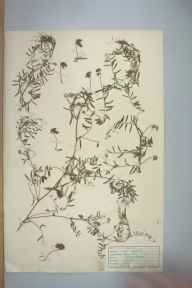 Vicia hirsuta herbarium specimen from Kemyel, VC1 West Cornwall in 1946 by D A J Little (BSBI).