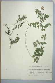Vicia sepium herbarium specimen from Stocking, Presteigne, VC36 Herefordshire in 1964 by H L Hatfield.