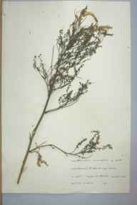 Melilotus officinalis herbarium specimen from Bentley, VC39 Staffordshire in 1964 by F M Slater.