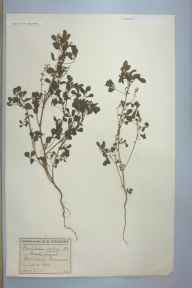 Melilotus indicus herbarium specimen from Portishead, VC6 North Somerset in 1900 by Mrs Eliza Standerwick Gregory.