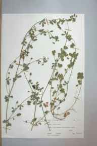 Medicago lupulina herbarium specimen from Aberystwyth, VC46 Cardiganshire in 1975 by Dr Andrew David Quentin Agnew.