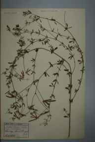 Lotus glaber herbarium specimen from Reigate, VC17 Surrey in 1899 by Ernest Stanley Salmon.