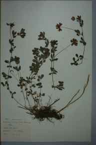Lotus pedunculatus herbarium specimen from Cliffe Woods, Rochester, VC16 West Kent in 1959 by M J Kearsey.