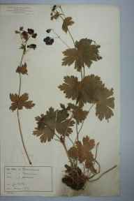 Geranium phaeum herbarium specimen from Casterton, VC69 Westmorland in 1864 by Rev William Hunt Painter.