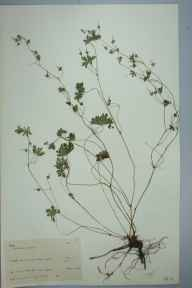 Geranium molle herbarium specimen from Cliffe, VC16 West Kent in 1960 by Jacqueline Rigby Jones.