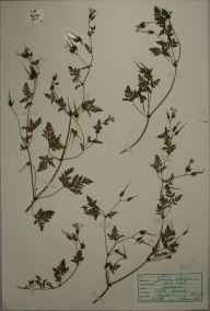Geranium robertianum herbarium specimen from Penzance, Castle Horneck, VC1 West Cornwall in 1946 by D A J Little (BSBI).