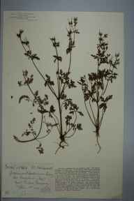 Geranium robertianum herbarium specimen from East Pentire, VC1 West Cornwall in 1905 by Dr Chambre Corker Vigurs.