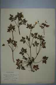 Geranium robertianum herbarium specimen from Cambridge, Trinity College, VC29 Cambridgeshire in 1898 by Prof Richard Henry Yapp.