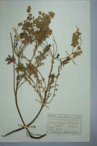 Euphorbia portlandica herbarium specimen from Morthoe, VC4 North Devon in 1883 by Mr William Booth Waterfall.