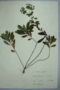Euphorbia amygdaloides herbarium specimen from Saint Paul's Cray, VC16 West Kent in 1965 by P R Harwood.