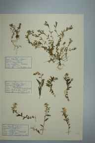 Polygala vulgaris herbarium specimen from Praa Sands, VC1 West Cornwall in 1941 by D A J Little (BSBI).
