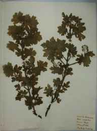 Acer campestre herbarium specimen from Cambridge, VC29 Cambridgeshire in 1888 by Henry Haselfoot Haines.