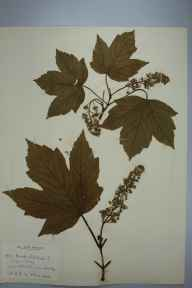 Acer pseudoplatanus herbarium specimen from Grantchester, VC29 Cambridgeshire in 1898 by Prof Richard Henry Yapp.
