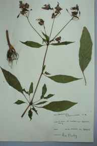 Impatiens glandulifera herbarium specimen from Conham Ferry, VC34 West Gloucestershire in 1965 by Alec Dowling.