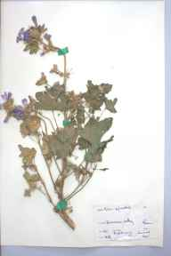Malva sylvestris herbarium specimen from Swansea Valley, VC41 Glamorganshire in 1961 by G W J.
