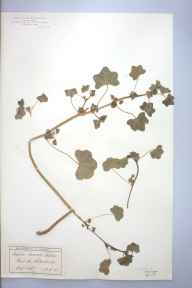 Malva pusilla herbarium specimen from Edenbridge, VC16 West Kent in 1891 by Ernest Stanley Salmon.