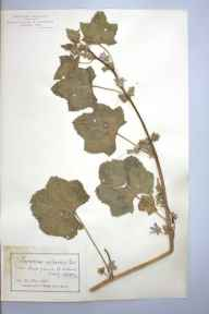 Lavatera cretica herbarium specimen from Jersey, Saint Aubin's, VC113 Channel Islands in 1898 by Mr James Walter White.