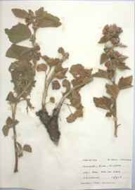 Althaea officinalis herbarium specimen from Pen-clawdd, VC41 Glamorganshire in 1959 by T R Lovering.
