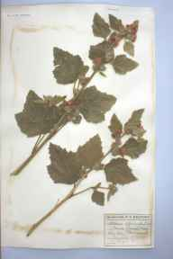 Althaea officinalis herbarium specimen from Portishead, VC6 North Somerset in 1905 by Mrs Eliza Standerwick Gregory.