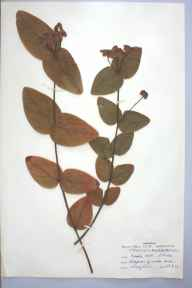 Hypericum androsaemum herbarium specimen from Pembroke Dock, VC45 Pembrokeshire in 1961 by Dorothy Lewis.