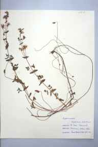 Hypericum pulchrum herbarium specimen from Saint Ives, VC1 West Cornwall in 1959 by Janet Hunt.