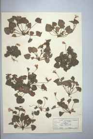 Viola riviniana herbarium specimen from Cape Cornwall, VC1 West Cornwall in 1946 by D A J Little (BSBI).