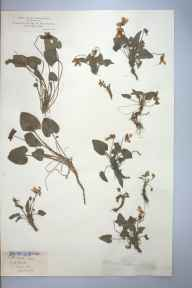 Viola hirta herbarium specimen from Leigh Woods, VC6 North Somerset in 1882 by Rev William Hunt Painter.