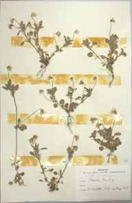 Viola kitaibeliana herbarium specimen from Isles of Scilly,Tresco, VC1 West Cornwall in 1963 by D A J Little (BSBI).