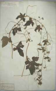 Bryonia dioica herbarium specimen from Knowle, VC6 North Somerset in 1883.
