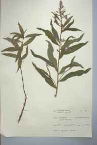 Chamerion angustifolium herbarium specimen from Coelbren, VC41,VC42 in 1965 by Arlene Jones.