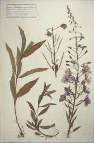 Chamerion angustifolium herbarium specimen from Wisley Common, VC17 Surrey in 1942 by D A J Little (BSBI).