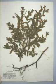 Epilobium hirsutum herbarium specimen from Burry Port, VC44 Carmarthenshire in 1959 by Barbara A G Williams.