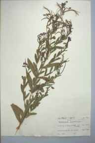 Epilobium hirsutum herbarium specimen from Minster, VC15 East Kent in 1961 by Meryl F Hopkins.