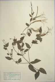 Epilobium montanum herbarium specimen from Trengwainton, VC1 West Cornwall in 1946 by D A J Little (BSBI).