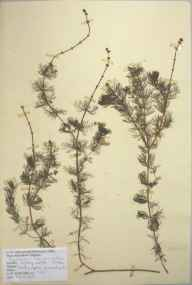 Myriophyllum spicatum herbarium specimen from Kegworth, VC56 Nottinghamshire in 1948 by D A J Little (BSBI).