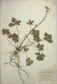 Sanicula europaea herbarium specimen from Hadley Wood, VC21 Middlesex in 1895 by E M D.