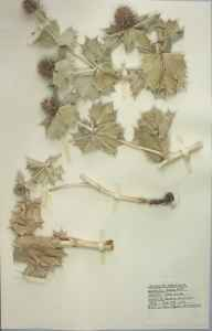 Eryngium maritimum herbarium specimen from Burry Port, VC44 Carmarthenshire in 1959 by Barbara A G Williams.