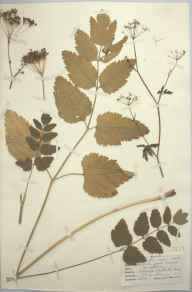 Pimpinella major herbarium specimen from Betchworth, VC17 Surrey in 1947 by D A J Little (BSBI).