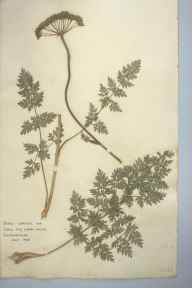Seseli libanotis herbarium specimen from Cherry Hinton, VC29 Cambridgeshire in 1935 by Rowena Mabel Ferguson.