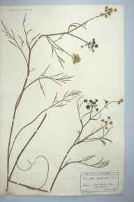 Oenanthe lachenalii herbarium specimen from Brodick, VC100 Clyde Islands in 1893 by Mr Charles Edgar Salmon.