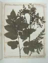 Oenanthe crocata herbarium specimen from River Brathay, VC69 Westmorland in 1894 by R.