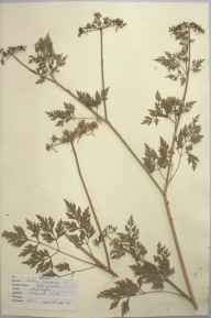 Aethusa cynapium herbarium specimen from Betchworth Hills, VC17 Surrey in 1947 by D A J Little (BSBI).