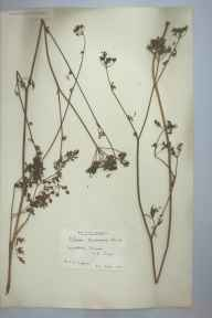 Silaum silaus herbarium specimen from Woodbury Common, VC3 South Devon in 1904 by Dr Chambre Corker Vigurs.