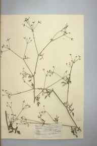 Sison amomum herbarium specimen from Betchworth Hills, VC17 Surrey in 1947 by D A J Little (BSBI).