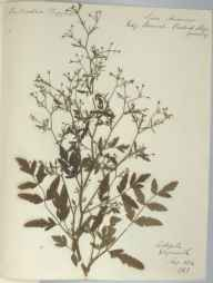 Sison amomum herbarium specimen from Weymouth, VC9 Dorset in 1884 by R.
